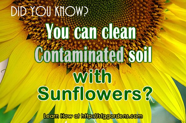 How To Clean Up Damaged Land With Sun Flowers - http://www.ecosnippets.com/environmental/how-to-clean-up-damaged-land-with-sun-flowers/