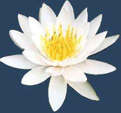 Door zijn betoverende schoonheid, spreekt de Lotusbloem tot ieders verbeelding, maar buiten dit feit heeft deze prachtige bloem ook nog een tal van symbolische betekenissen.       Her