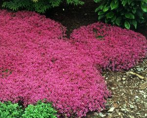 Thymus serpyllum (praecox) (Thyme, red or Red-flowering Mother-of-Thyme)  Fragrant ground cover