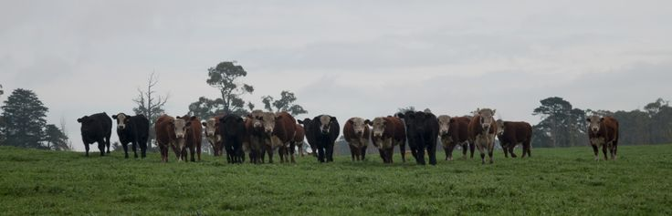 I really like this image because all the cows in the paddock all seemed to look towards the camera.