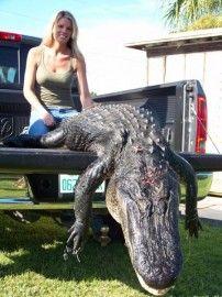 Big Florida Alligator Killed by Girl Hunter