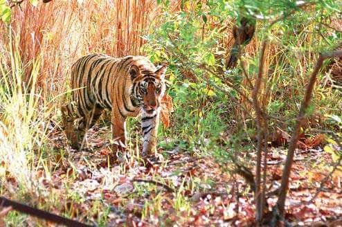 Jaldapara National Park to Introduce Tigers   The Bengal forest department has received an approval from the National Tiger Conservation Authority to bring in three tigers to Jaldapara National Park as part of a programme to increase the big cat population in the region.  The forest department had sent a proposal to the NTCA last year and the permission came in December officials said.  In October the NTCA had given a similar approval for Buxa Tiger Reserve which is adjacent to the Jaldapara…