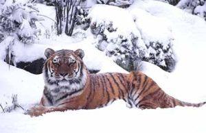 Siberische-tijger