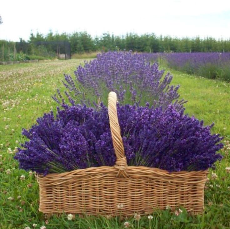 1000+ Images About .LAVENDER GATHERED. On Pinterest