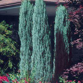 Borievka Blue Arrow (modrý šíp) 140/160 cm, v črepníku Juniperus scopulorum Blue Arrow