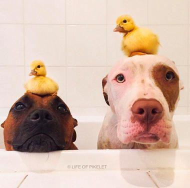 Beste Freunde: Zwei #Hunde und ihre #Enten