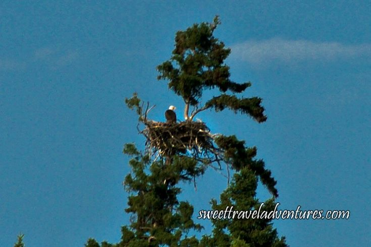 Eagle in Eagle Nest on Tree Next to Second Lake of the Hanging Heart Lakes in Prince Albert National Park