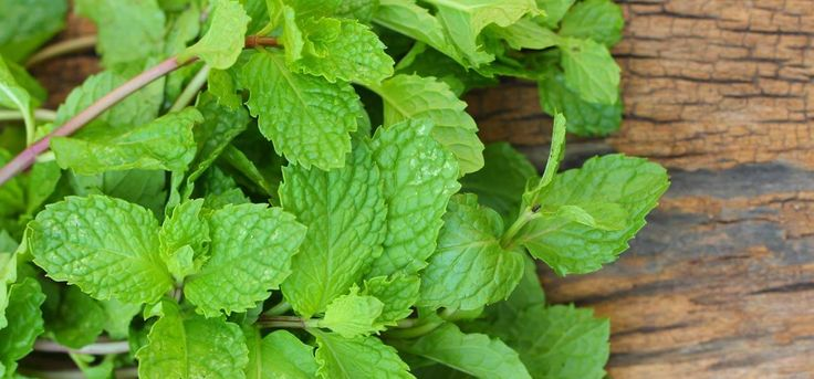 Can Mint Leaves Help Cure Acne Scars-Believe it or not, mint is an excellent herb that cures infections such as acne, heat bumps and burns. Here is a home remedy with mint leaves for acne scars.