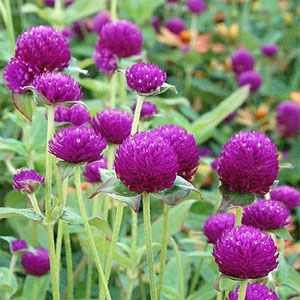 Gomphrena (Gomphrena Globosa Purple)  These reseed every year and show up in my garden in the strangest places.