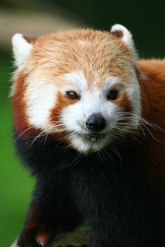 Red panda taken in Cumbria, England