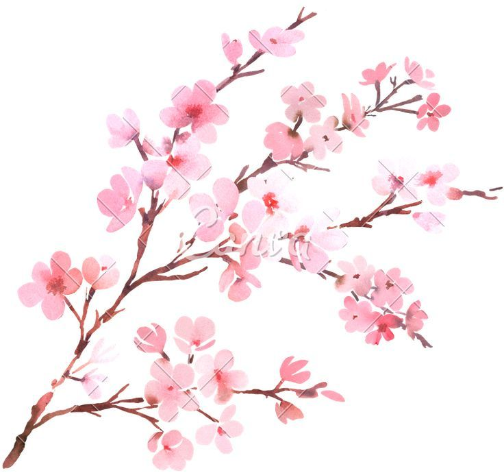 Cherryblossom Cherry Blossom Art Cherry Blossom Watercolor Cherry Blossom Painting