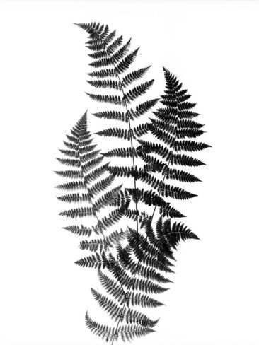 Photographic Study Of Fern Leaves Photographic Print by Bettmann at Art.com