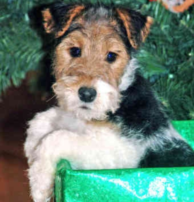 Wire hair fox terrier FIRST DOG I EVER HAD, BOY WAS HE SMART, HIS NAME WAS SPARKY