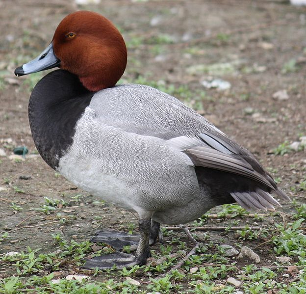 Redhead Duck, Bayside community Pond, Ocean City, MD 01/18/2014