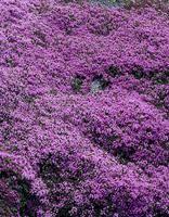 Kangasajuruoho Kangasajuruoho sopii hyvin kuivien paikkojen maanpeitekasviksi. Erittäin tiivis ja mattomainen kasvutapa. Tuoksuvat kukat houkuttelevat perhosia.   Kukinta: kesä-heinäkuu Kasvukorkeus: n. 5 cm Kasvupaikka: aurinkoinen Talvenkesto: kestävä