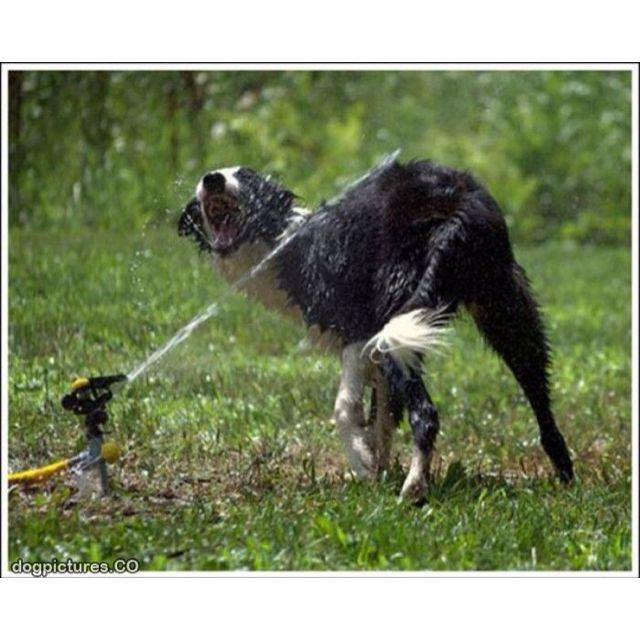 Border collies love sprinklers - especially my Border collie, Smokey Joe