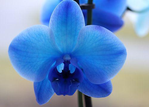 Синяя орхидея украсит любой подоконник