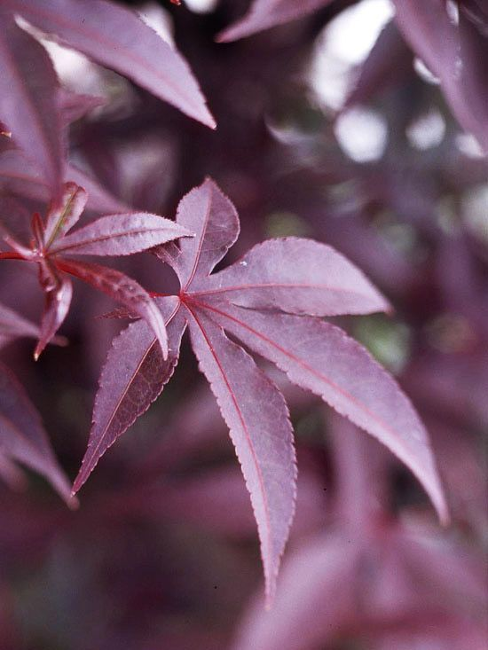 Emperor 1,A favorite because of its dark purple-red foliage, Emperor 1 is also a good choice for northern gardens as its leaves open a bit later than most -- helping it avoid late spring frosts. It also offers brilliant scarlet-red fall color. Name: Acer palmatum 'Wolff' Growing Conditions: Part shade and moist, well-drained soil Size: 15 feet tall and wide Zones:5-8 Choose It Because: You want a good red-leaf type or live in the North.