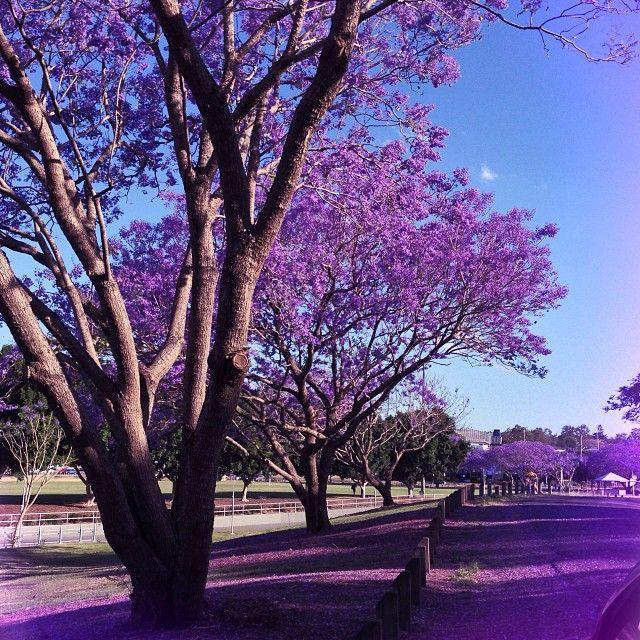 Purple Rain – Jacarandas in full bloom in Brisbane [gallery] #qldblog #thisisqueensland