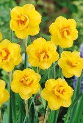 Narcissi Tamara -Daffodil Bulbs