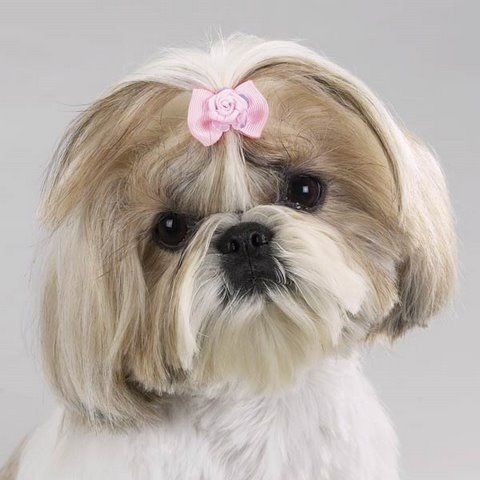 Popular Ribbon Bow Adorable Dog - 5f306240c6900e7635c23a49d892a68e--ribbon-hair-bows-dog-hair-bows  Pictures_605782  .jpg