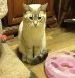 Thom Thumb is an adoptable Siamese Cat in Rochester Hills, MI. PURRS ABOUND SIAMESE RESCUE OF MICHIGAN,INC. 8/13/12Thom is a beautiful neutered male lilac lynx point Siamese mix. He was surrendered w...