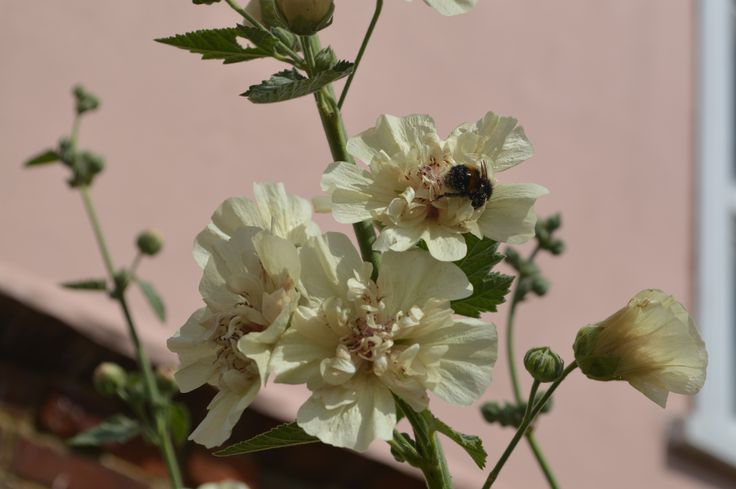 A new one on me:  x Alcathaea suffrutescens 'Parkallee'. It is a cross between Alcea rosea and the marshmallow, Althaea officinalis. Blooms in August and September Propagated by cuttings. Double flowers, apricoty-coffee colored.