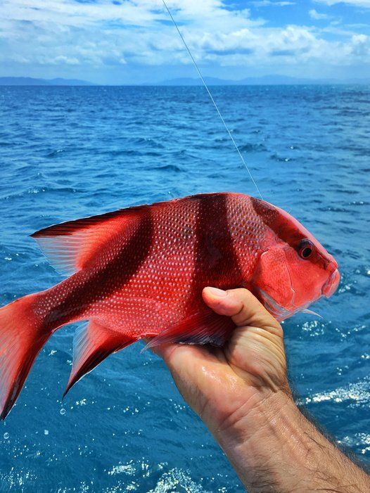 """""""With more than 1,500 species of tropical fish in the Great Barrier Reef, it was inevitable that I'd get hooked. (This red emperor"""