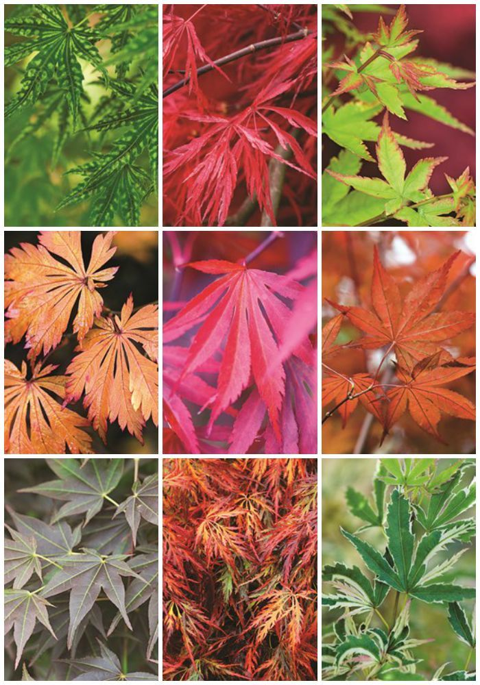 9 Japanese Maple Trees for Fall Color