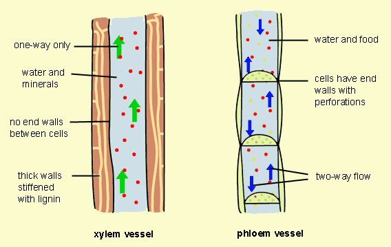 Xylem and phloem diagrams -- the vascular system of a plant | Botany ...