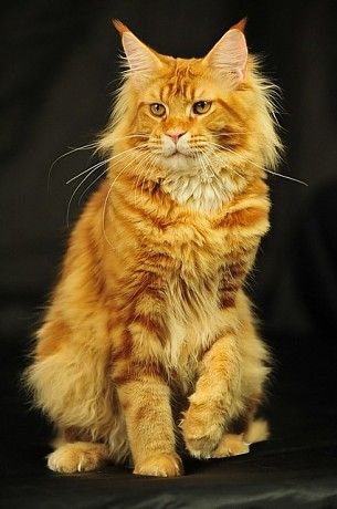 Maine coon. Justcoons Do Not Forget http://www.mainecoonguide.com/what-is-the-average-maine-coon-lifespan/