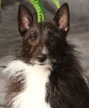 shetland terrier 19 best images about my breed pack on pinterest white 9076
