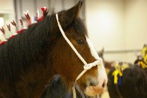 SHIRE HORSE & CLYDESDALE
