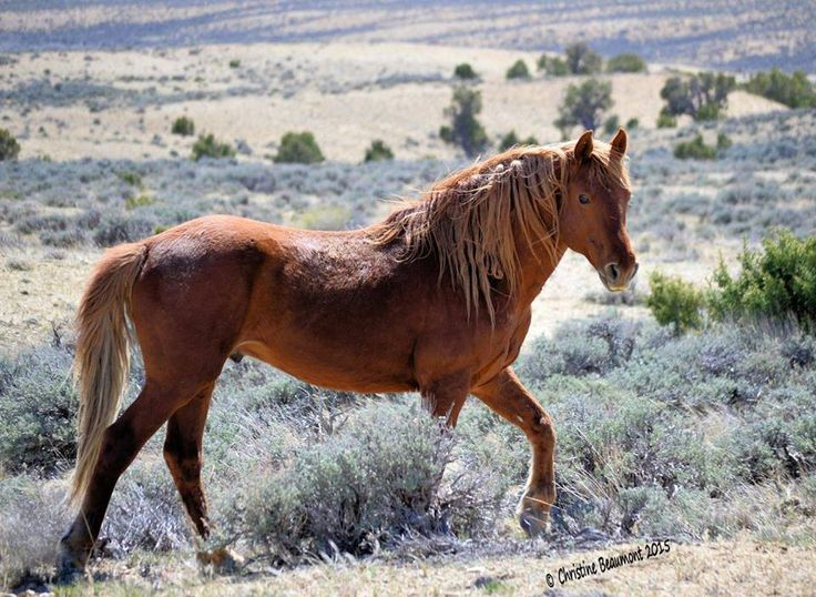 """scarlettjane22: """"  Handsome band stallion WildWind showing off and strutting! Photo by Christine Beaumont Sand Wash Basin """""""