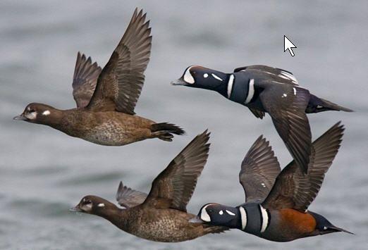 Harlequin Duck flock