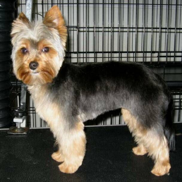 ... Silky Yorkie Haircuts For Females?  Black Hairstyle and Haircuts