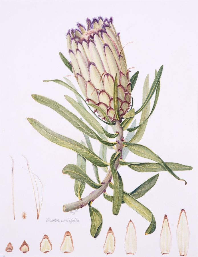 Beautiful protea illustration