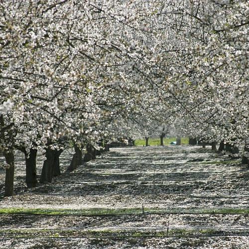 Blossom trail, Fresno, CA