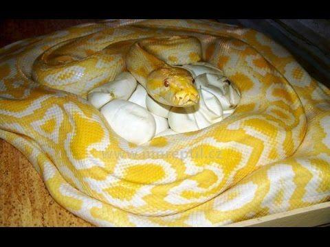 Cobras Grandes | Animais - Cultura Mix