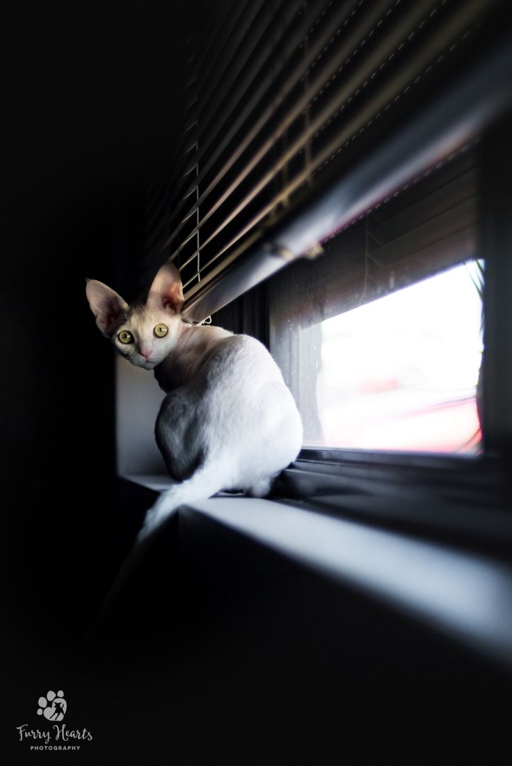 White Devon Rex sitting on a window sill