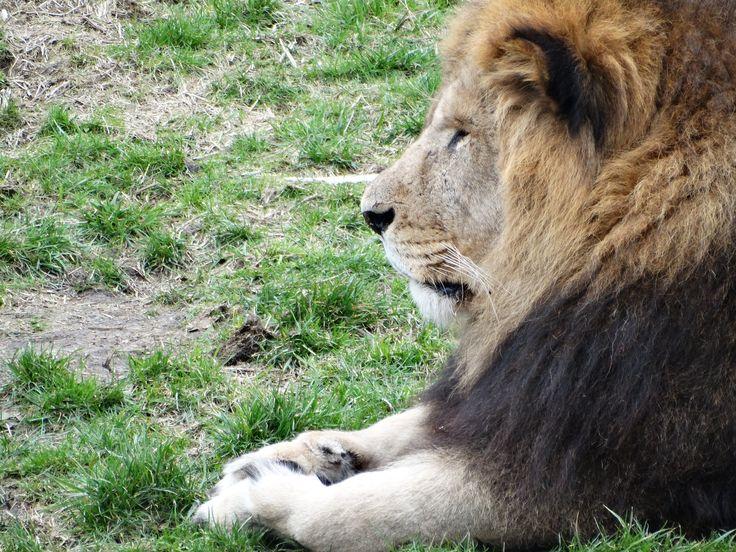 Male lion - Wildlands Adventure Zoo Emmen - 04-03-2017 By Tjaard Polet