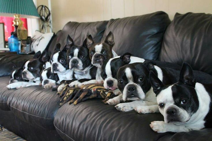 Bostons all in a row. As much attention as they want, surely they have a big family to love on all of them...