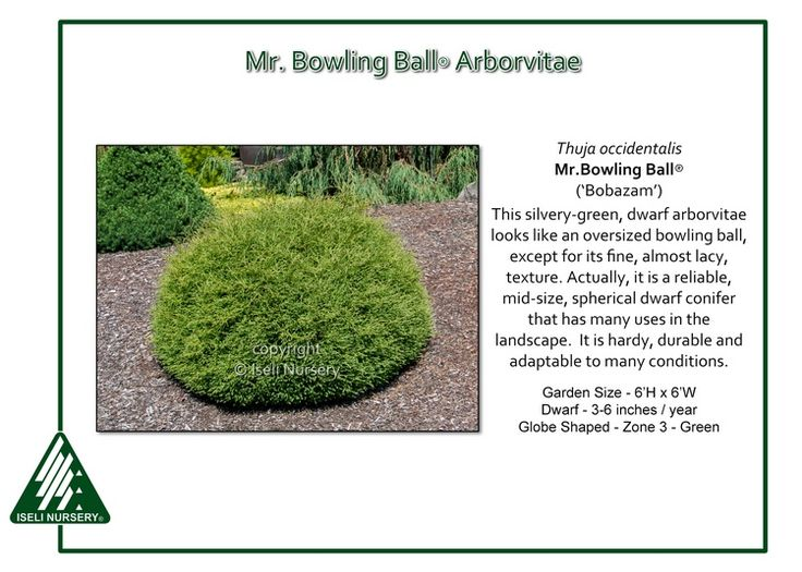 Mr. Bowling Ball® Arborvitae The silvery-green, dwarf Thuja occidentalis Mr. Bowling Ball®('Bobazam') looks like an oversized bowling ball, except for its fine, almost lacy, texture. Actually, it is a…