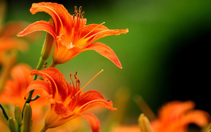lilies, Flowers, Orange Flowers Wallpapers HD / Desktop and Mobile ... lilies, Flowers, Orange Flowers Wallpapers HD / Desktop and Mobile ...