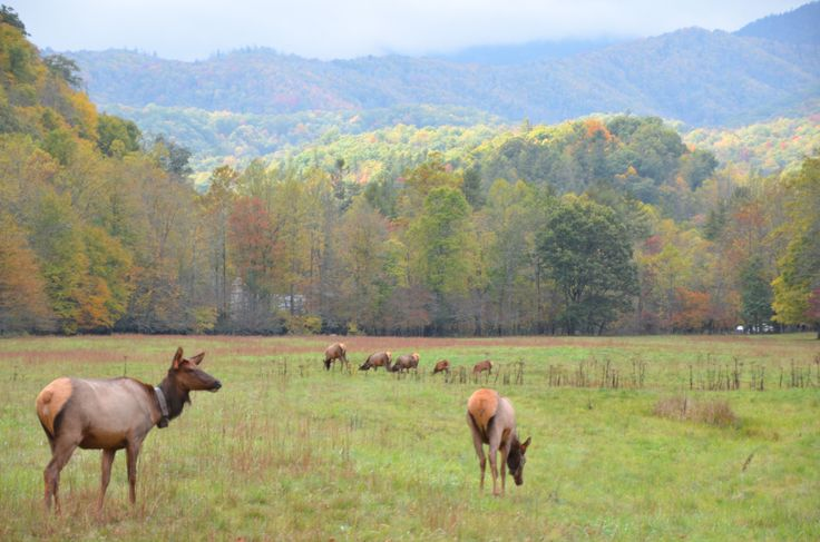 "USA Today names Cataloochee Valley in the Great Smoky Mountains National Park as one of ten best national park drives, saying ""This drive meanders through the quiet side of the busy park, running from Cove Creek Road just off I-40 on the North Carolina side through the Cataloochee Valley."" Many of us know Cataloochee Valley for its vibrant elk population. Learn more about the elk: http://www.nps.gov/grsm/naturescience/elk-facts.htm #playon #cataloocheevalley www.mountainloversnc.com"