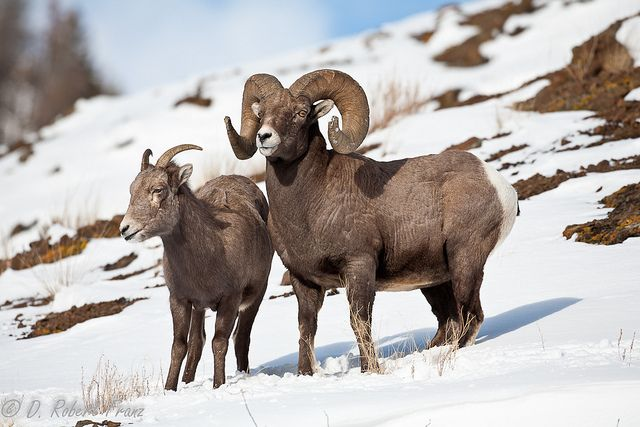 51 best images about Bighorn sheep on Pinterest | Horns ...
