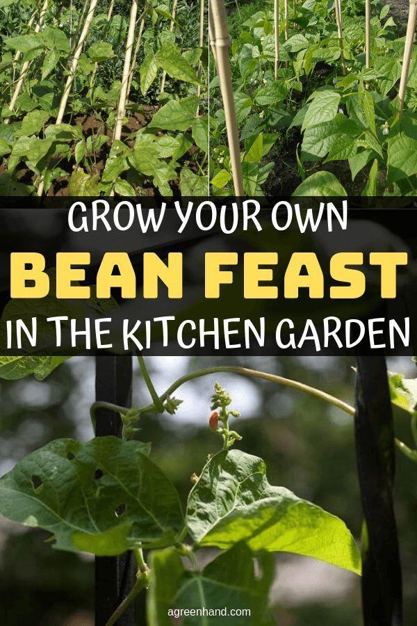 Bauen Sie Ihr Eigenes Bohnenfest Im Gemusegarten An Backyard Vegetable Gardens Kitchen Garden Growing Runner Beans