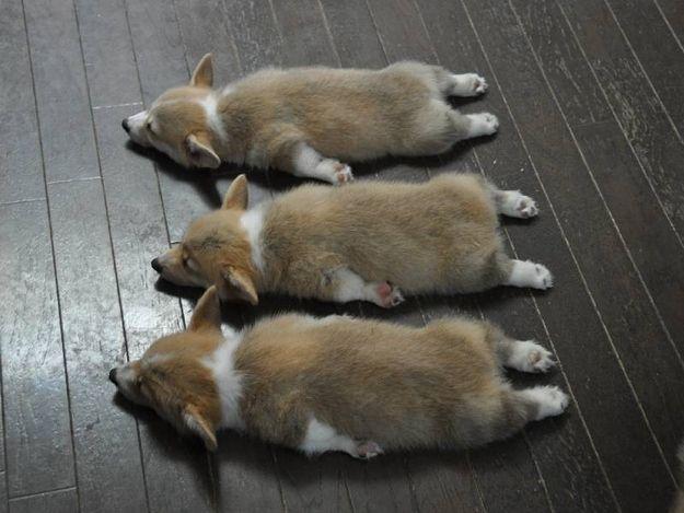 コーギーが三匹