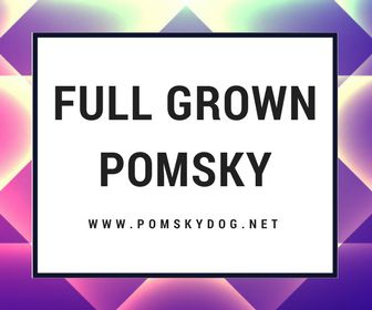 How big are full grown Pomskies? What does a full grown Pomsky look like? How do full grown Pomskies behave? All information about adult Pomsky.