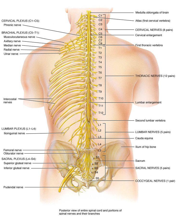 59 best nerves and plexus study images on pinterest, Muscles